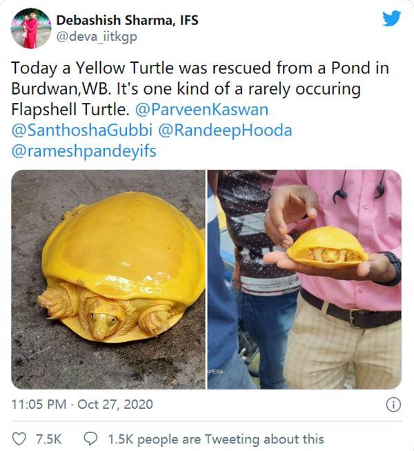 第二次见 网友在印度发现罕见老鳖:通体金黄色