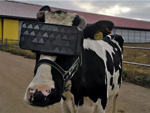 俄農場給奶牛戴VR眼鏡 可以減輕焦慮增加產奶量?